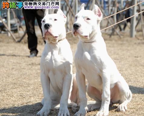 太原本地出售高品质杜高犬宝宝期待来电咨询