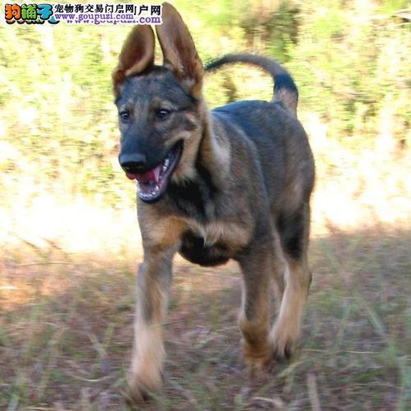精品纯种合肥昆明犬出售质量三包喜欢它的快来