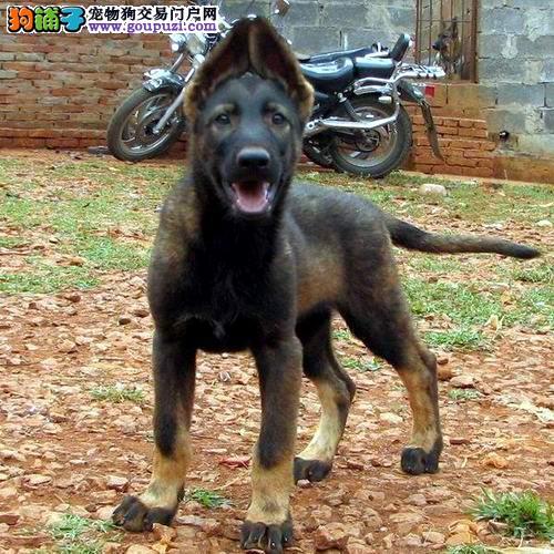 最大的昆明犬基地 完美售后上门可见父母
