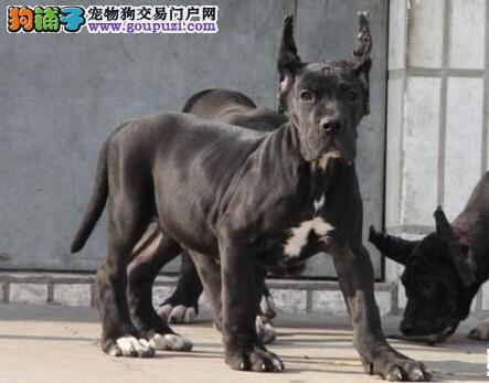 西安出售极品大丹犬幼犬完美品相实物拍摄直接视频