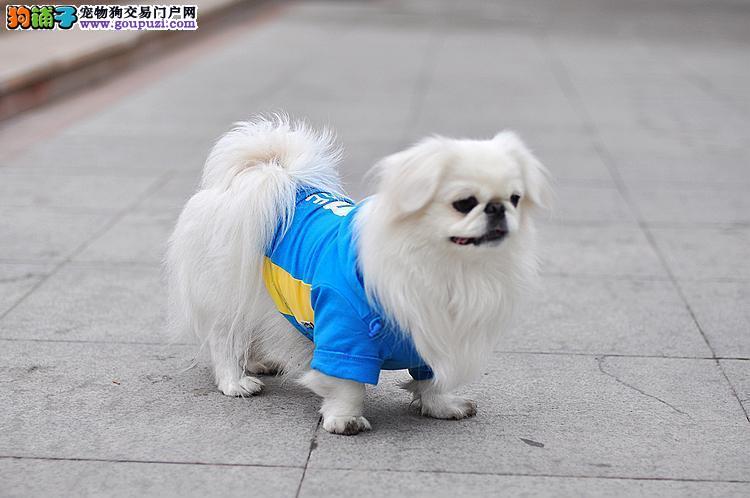 杭州出售北京犬杭州哪里有卖京巴杭州京巴多少钱