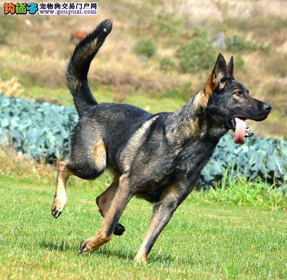 出售昆明犬宝宝,CKU认证犬舍,购买保障售后