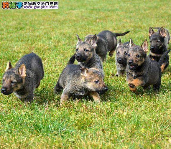 合肥知名犬舍出售多只赛级昆明犬上门可见父母