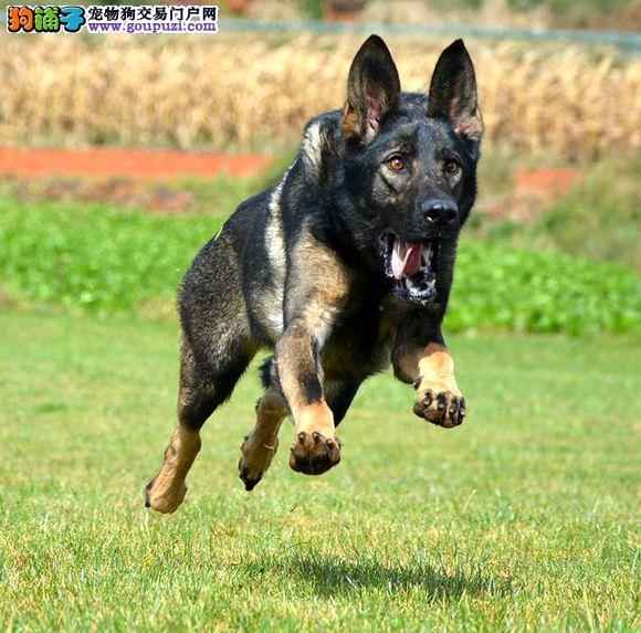 专业正规犬舍热卖优秀的昆明犬多种血统供选购