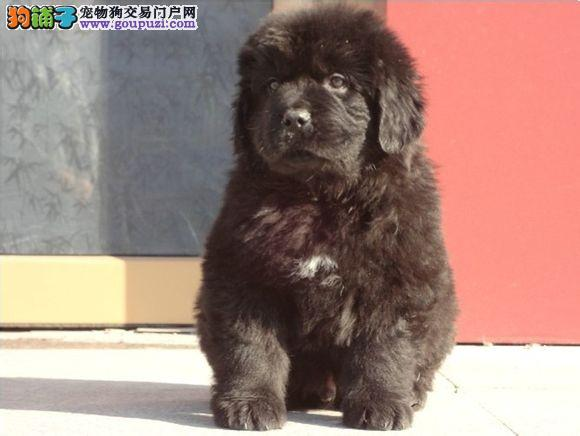 大型专业培育纽芬兰犬幼犬包健康厦门地区可包邮