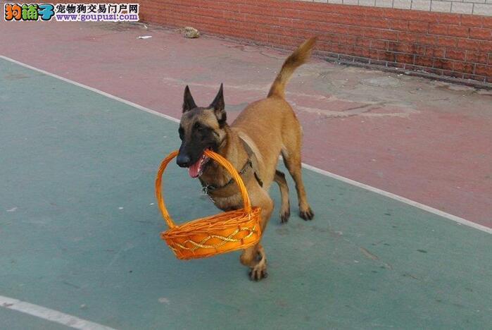 CKU犬舍认证出售纯种马犬办理血统证书