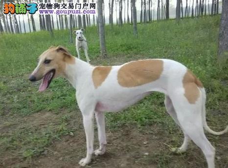 顶级优秀的纯种格力犬成都热卖中狗贩子请绕行