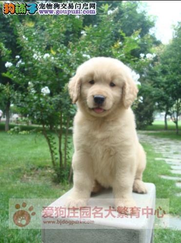 高端冠军级赛级金毛幼犬出售,纯种健康宝宝