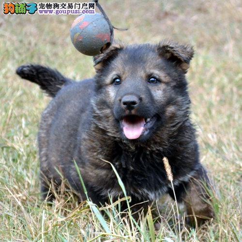 极品昆明犬幼犬 保证品质一流 全国空运到家
