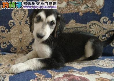 出售多只优秀的阿富汗猎犬可上门全国送货上门