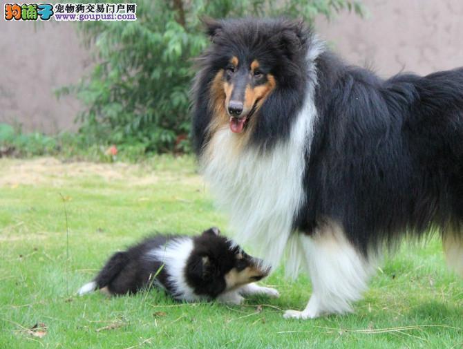 纯种健康的苏格兰牧羊犬出售中有意者可上门选购