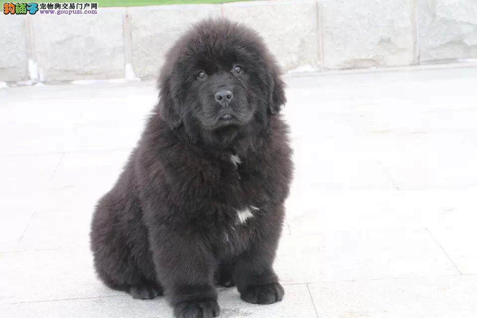 武汉自家繁殖的纯种纽芬兰犬找主人送用品送狗粮