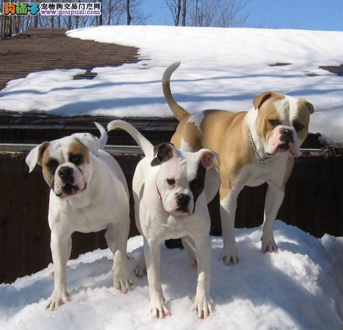 本地出售高品质美国斗牛犬宝宝价格美丽品质优良