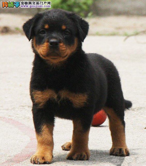 家养纯种赛级罗威纳幼犬低价转让中包健康可上门看狗