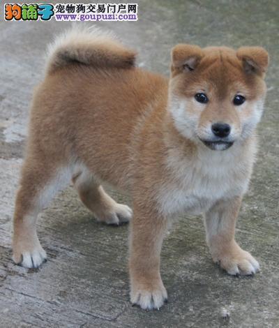 专业繁殖柴犬 保证纯种 健康活泼 可视频挑选 上门挑