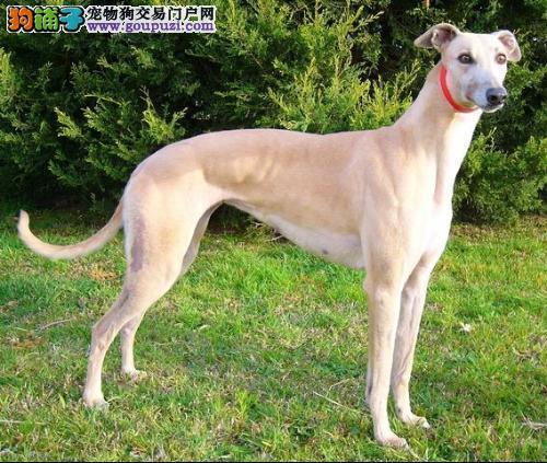格力犬银川最大的正规犬舍完美售后品质一流三包终身协议