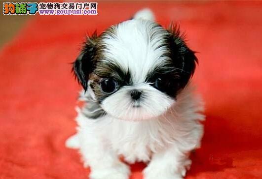 合肥最大犬舍出售多种颜色西施犬微信咨询看狗狗照片