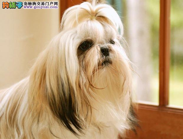 济南实体店热卖西施犬颜色齐全质量三包多窝可选