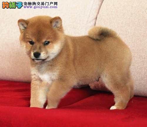 品质健康有保障南京柴犬热卖中价格低廉品质高