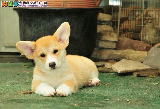 三色双色高品质威尔斯柯基幼犬公母都有包健康