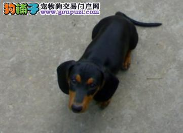纯种赛级迷你短毛长毛腊肠幼犬宠物狗出售健康保证