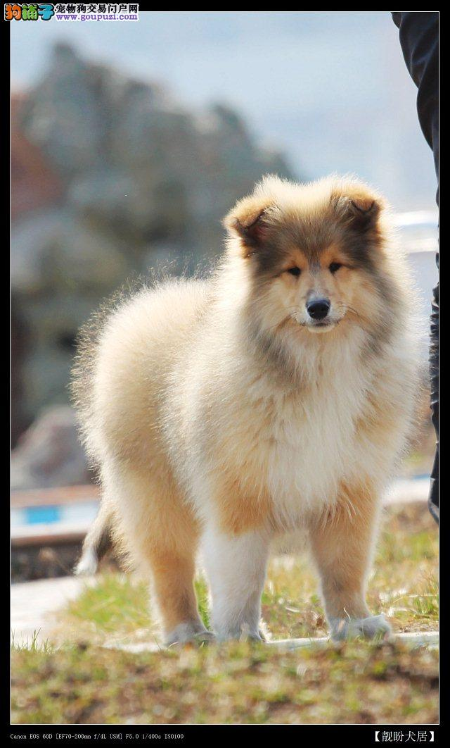 苏牧低价诚心转让纯种苏格兰牧羊犬宝宝纯种漂亮
