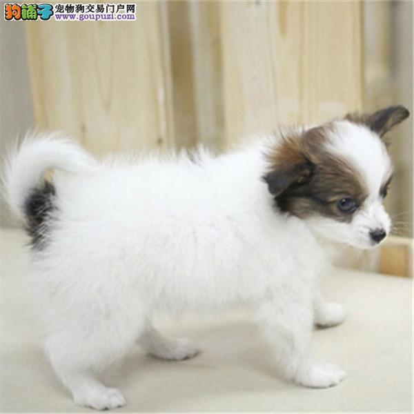 南京哪里出售蝴蝶犬/蝴蝶幼犬/蝴蝶多少钱/包纯种健康