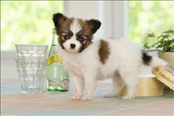 郑州出售蝴蝶犬公母都有品质一流签订保障协议