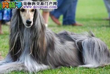 CKU犬舍认证出售高品质南宁阿富汗猎犬提供护养指导