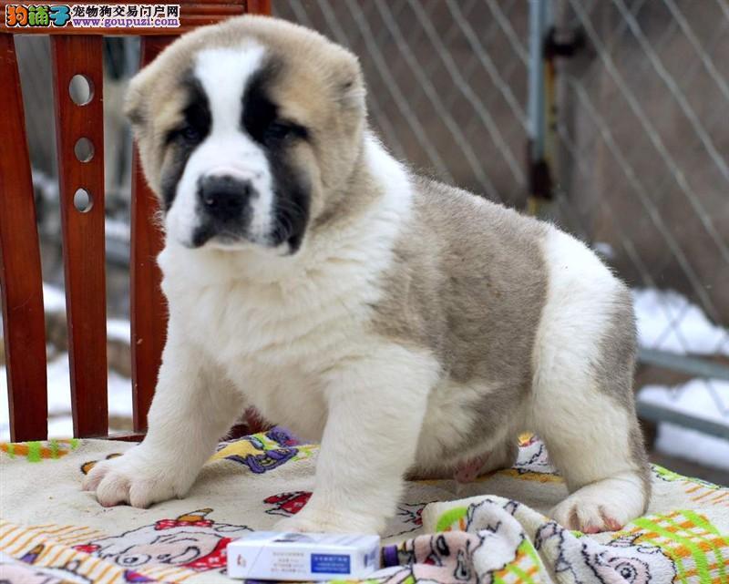 出售多种颜色武汉纯种中亚牧羊犬幼犬欢迎实地挑选