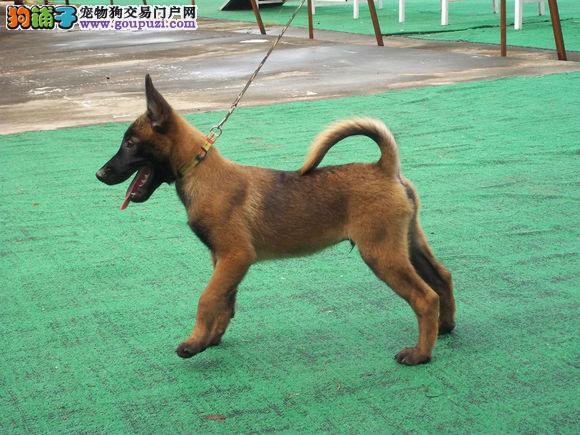 西安正规犬舍高品质马犬带证书我们承诺售后三包