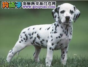 家养纯种健康的斑点狗狗品相一流保证健康可上门