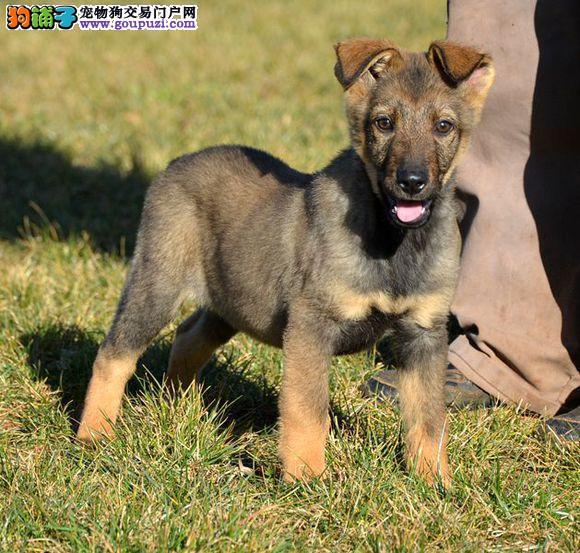超级精品昆明犬、纯度第一价位最低、质保全国送货