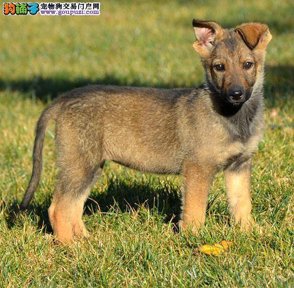 出售多只优秀的昆明犬南宁可上门赠送全套宠物用品