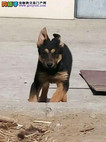 大型专业培育昆明犬幼犬包健康质量三包多窝可选