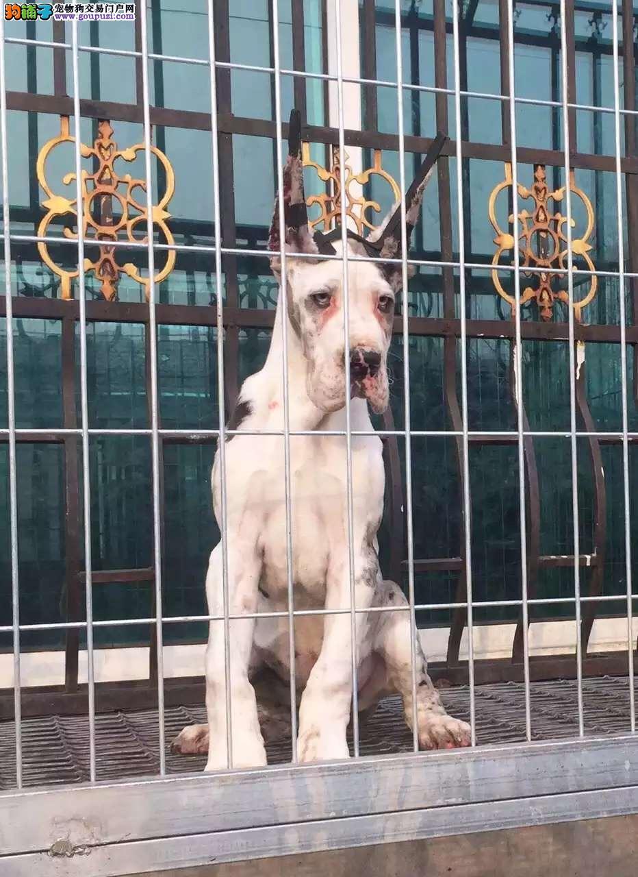 长沙正规狗场犬舍直销大丹犬幼犬长沙市内免费送货