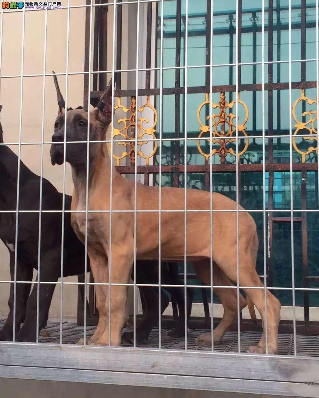 实物拍摄的大丹犬找新主人爱狗人士优先狗贩勿扰