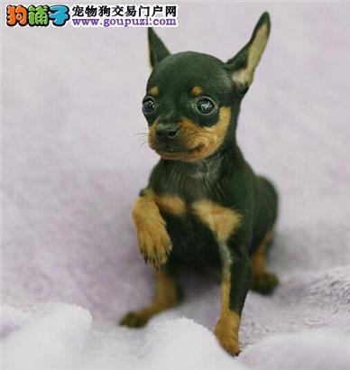 精品小鹿幼犬 疫苗做齐 喜欢的朋友联系 购犬有保障