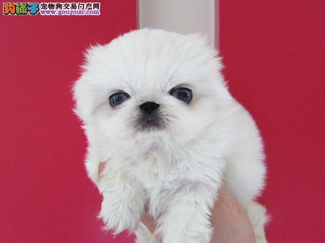 广东友家养殖狗场 十月优惠出售各类萌宠:京巴狗