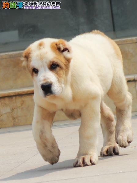 CKU认证犬舍 专业出售极品 中亚牧羊犬幼犬期待您的咨询