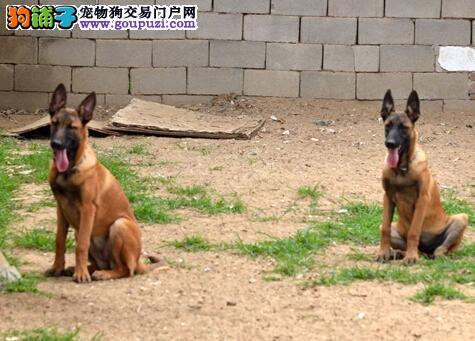 长沙出售马犬公母都有品质一流签订保障协议