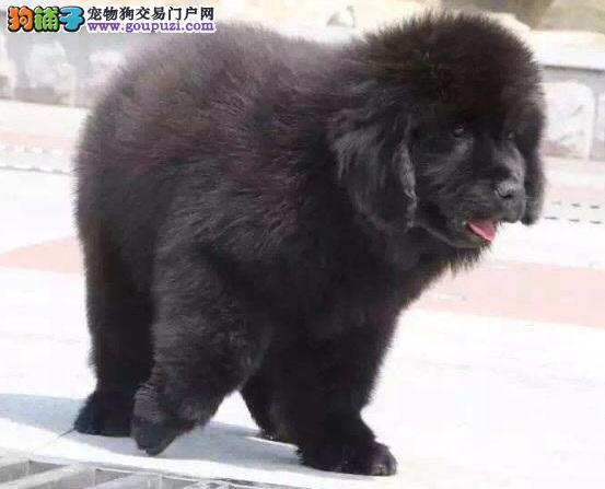 石家庄知名犬舍出售多只赛级纽芬兰犬期待您的光临