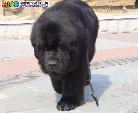 出售极品纽芬兰犬幼犬完美品相狗贩子请勿扰