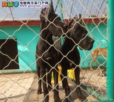 南宁出售大丹犬幼犬品质好有保障价格低廉品质高