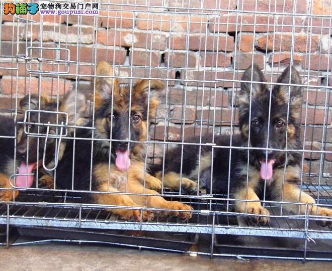 南京实体店低价促销赛级昆明犬幼犬国际血统证书