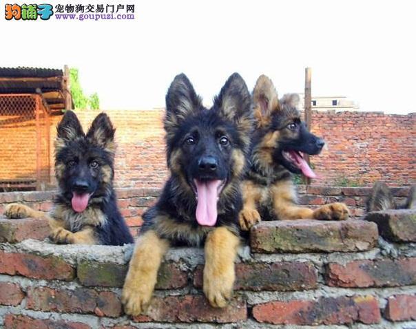 出售多只优秀的昆明犬西安可上门优质服务终身售后