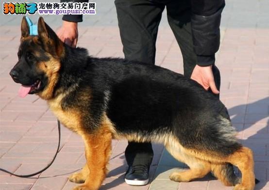 高品质的昆明犬找爸爸妈妈保障品质售后