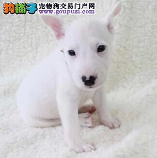 精品牛头梗幼犬一对一视频服务买着放心微信咨询视频看狗