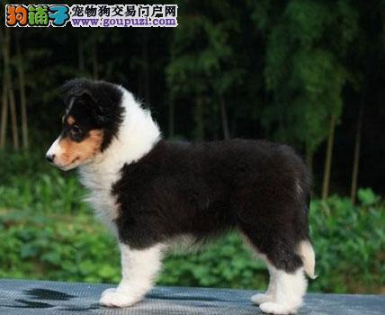 北京纯血统繁殖基地赛级喜乐蒂质量三包质保三年