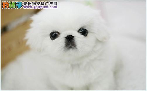 出售京巴犬白色黄色纯种漂亮 可爱很粘人的小京巴